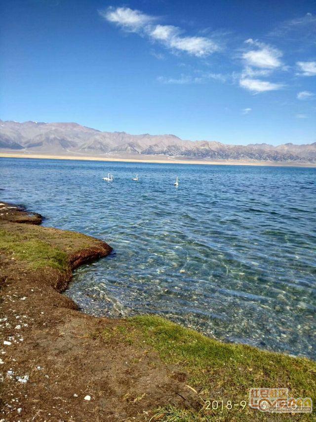 新疆赛里木湖的天鹅和草地