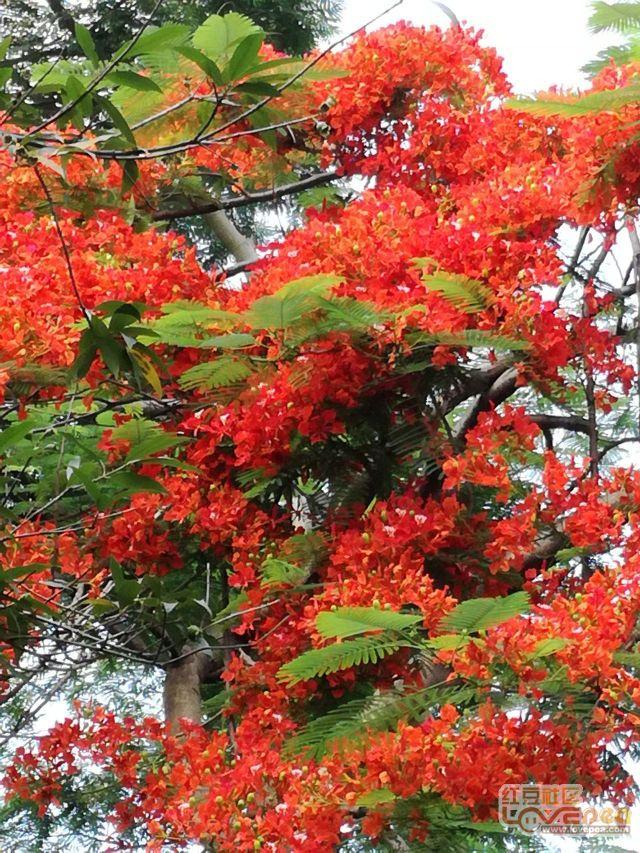 红红火火风凰树