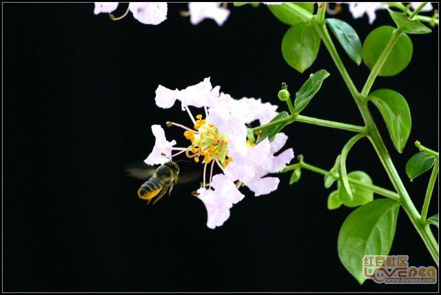 紫薇花与蜜蜂
