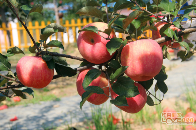 走进苹果园!