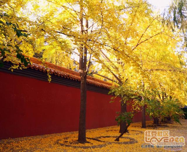 深秋里的金黄色美景