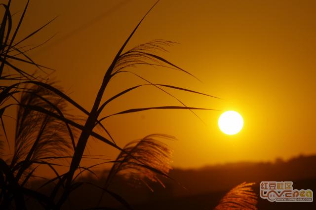 夕阳,芦苇,红叶PP