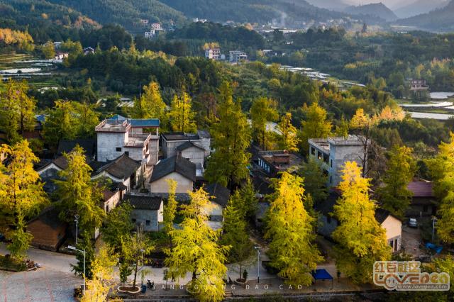 桂北的银杏树叶