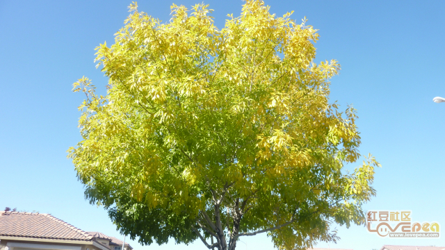 深秋黄叶飘飞