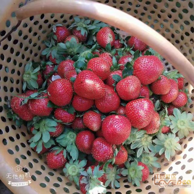 小雪日里赶上草莓头摘果