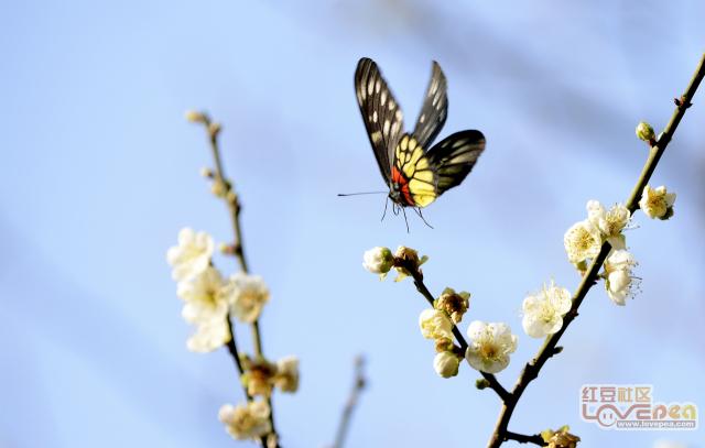 梅花-蝴蝶-蜜蜂