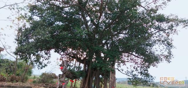 我们岜堪村榕树