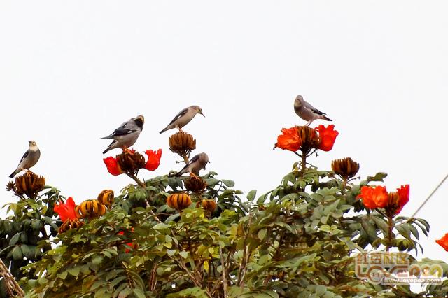 群鸟上花头,春天的信号
