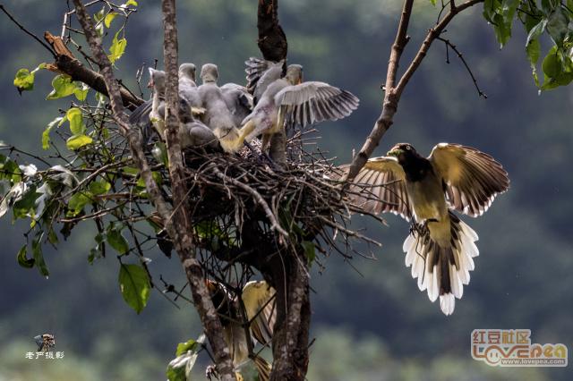 白翅蓝鹊拍摄记