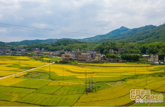 苍梧县石桥镇金色稻园