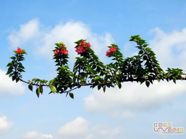 玉林三角梅