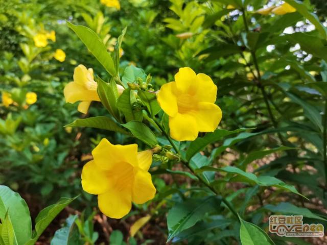 校园里的黄蝉花