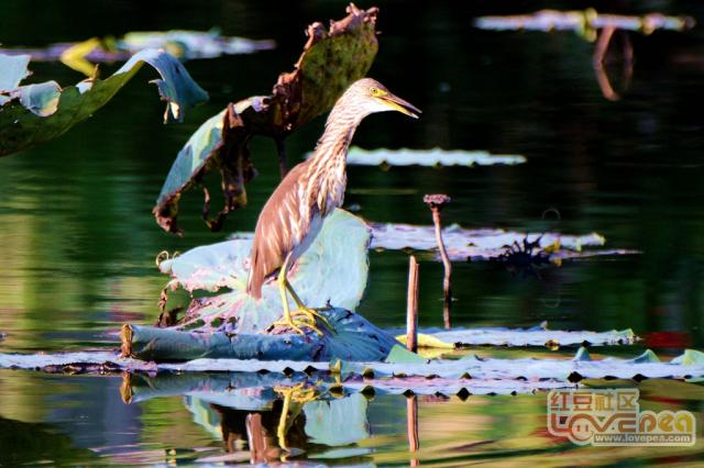 潘塘一池鹭