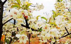 山楂花开在柳州处处