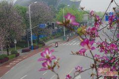 广场的紫荆花