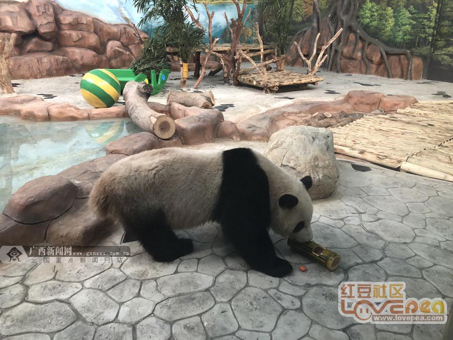 南宁动物园大熊猫